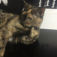 American Shorthair Cat for adoption in St. Louis, Missouri - Maggie (Special Adopt Rate)