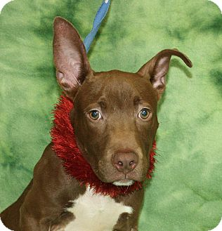 Pit Bull Terrier Mix Puppy for adoption in Jackson, Michigan - Johnson