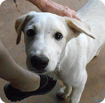 Labrador Retriever Mix Puppy for adoption in Plano, Texas - Romeo