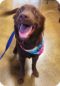 Labrador Retriever/Golden Retriever Mix Dog for adoption in Waggaman, Louisiana - Piper