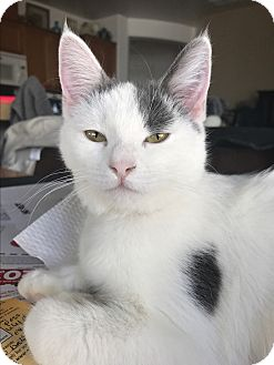 Domestic Shorthair Cat for adoption in Palm Springs, California - Dottie