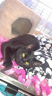 Domestic Shorthair Cat for adoption in South Haven, Michigan - Spitfire