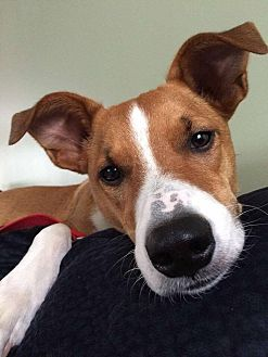 Jack Russell Terrier/Basenji Mix Dog for adoption in Groton, Connecticut - Marty
