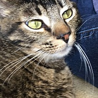 Domestic Shorthair Cat for adoption in Chula Vista, California - Boo
