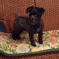 Adopt A Pet :: Angel - Tulsa, OK