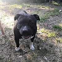 Pit Bull Terrier Dog for adoption in Fulton, Missouri - Penny - California