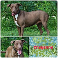 Adopt A Pet :: Cheyenne - Bardonia, NY