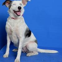 Adopt A Pet :: Nysa - Eugene, OR