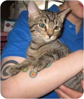 Domestic Shorthair Kitten for adoption in Randolph, New Jersey - Scooby Do