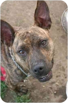 American Staffordshire Terrier Mix Dog for adoption in Islip, New York - Precious
