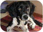 Spaniel (Unknown Type)/Border Collie Mix Dog for adoption in Plainfield, Illinois - Sterling