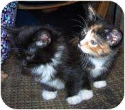 Domestic Shorthair Kitten for adoption in Chicago, Illinois - TUXIE AND TORTIE