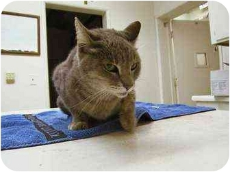 Domestic Shorthair Cat for adoption in West Los Angeles, California - Friskie