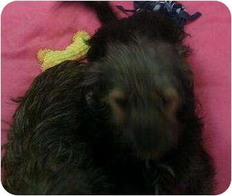 Yorkie, Yorkshire Terrier/Terrier (Unknown Type, Small) Mix Puppy for adoption in Phoenix, Arizona - Callie