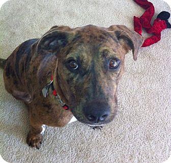Boxer/American Bulldog Mix Dog for adoption in Baton Rouge, Louisiana - Indy
