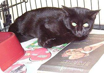 Domestic Shorthair Cat for adoption in Somerset, Pennsylvania - Ebony