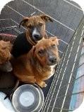 Boxer/Shepherd (Unknown Type) Mix Puppy for adoption in Las Vegas, Nevada - Winnie's Wiggles-N