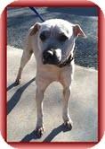 Shar Pei Mix Dog for adoption in Brattleboro, Vermont - Tinkerbell (Urgent!) $250 fee