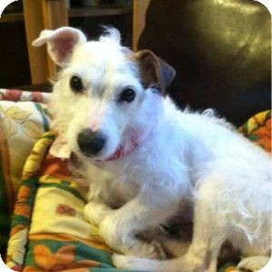 Jack Russell Terrier Dog for adoption in Houston, Texas - Lollipop in Georgia