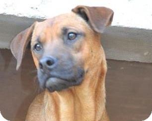 Redbone Coonhound/Labrador Retriever Mix Dog for adoption in San Diego, California - Rufus