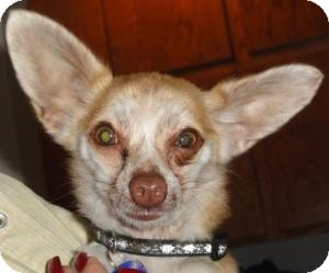 Chihuahua/Rat Terrier Mix Dog for adoption in Santa Ana, California - Gizmo