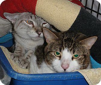 Siamese Cat for adoption in Pueblo West, Colorado - Sanjay