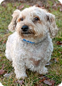 Poodle (Miniature)/Yorkie, Yorkshire Terrier Mix Dog for adoption in Manahawkin, New Jersey - Spencer