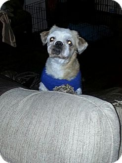 Pekingese Mix Dog for adoption in Lexington, Kentucky - Harry