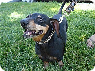 Dachshund Mix Dog for adoption in San Dimas, California - Tiny