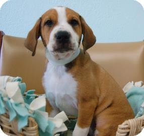 Hound (Unknown Type) Mix Puppy for adoption in Bradenton, Florida - Rosie