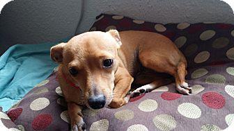Chihuahua Mix Dog for adoption in Mesa, Arizona - CHLOE ADOPT 8/16 11A-2P @PETCO