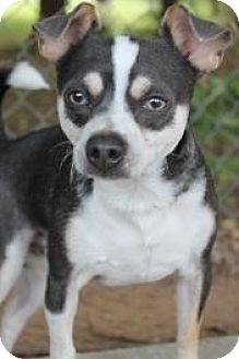 Chihuahua/Rat Terrier Mix Dog for adoption in Yukon, Oklahoma - Diesel