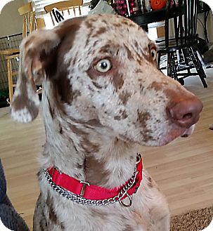 Weimaraner/Australian Shepherd Mix Dog for adoption in Grand Haven, Michigan - Charlie