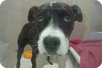 Pit Bull Terrier Mix Puppy for adoption in Philadelphia, Pennsylvania - Anastasia