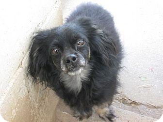 Chihuahua/Shih Tzu Mix Dog for adoption in Dodge City, Kansas - Rowdy