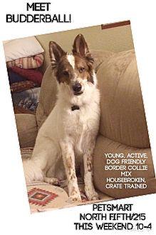 Border Collie/Collie Mix Puppy for adoption in Las Vegas, Nevada - Shasta's Budderball