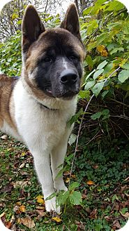 Akita Dog for adoption in Davison, Michigan - Magnum