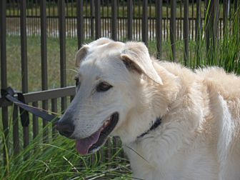 Labrador Retriever/German Shepherd Dog Mix Dog for adoption in Myakka City, Florida - Finn