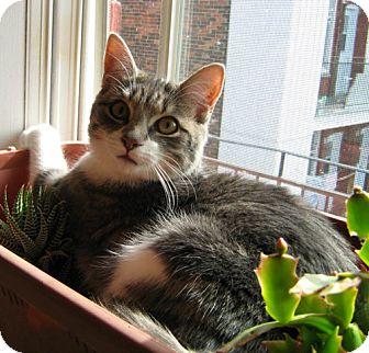 Domestic Mediumhair Cat for adoption in Verdun, Quebec - Yamska