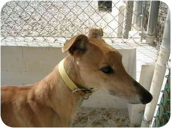 Greyhound Dog for adoption in St Petersburg, Florida - Fresh
