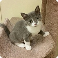 Adopt A Pet :: Itty Bitty - Phoenix, AZ