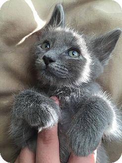Domestic Longhair Cat for adoption in San Antonio, Texas - Ashton