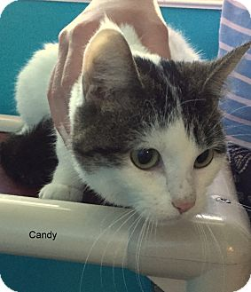 Domestic Shorthair Cat for adoption in Hibbing, Minnesota - Candy