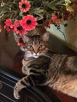 Domestic Shorthair Cat for adoption in Beaufort, South Carolina - JR Ewing