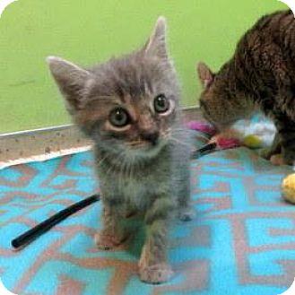Domestic Shorthair Kitten for adoption in Janesville, Wisconsin - Edith
