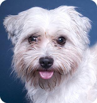 Shih Tzu/Maltese Mix Dog for adoption in Chicago, Illinois - Bixby
