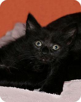 American Shorthair Kitten for adoption in Rochester, New York - Wisteria