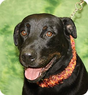 Labrador Retriever/Rottweiler Mix Dog for adoption in Jackson, Michigan - Zen
