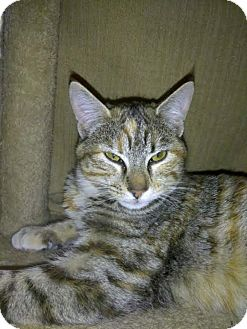 Domestic Shorthair Cat for adoption in Palo Cedro, California - Ginger