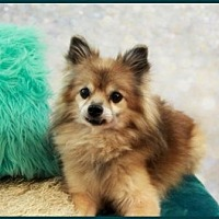 Pomeranian Dog for adoption in Dallas, Texas - Squirtle